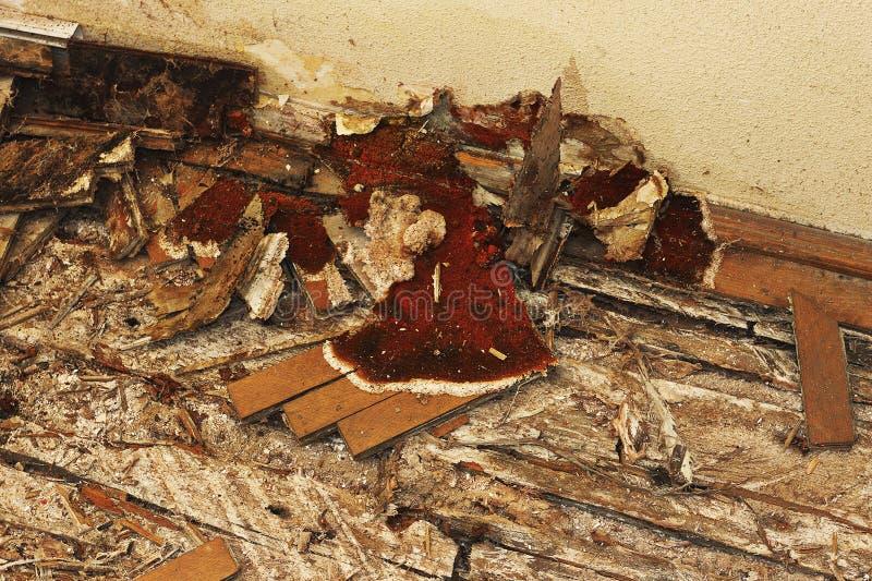 Corpo di fruttificazione della putrefazione a secco sul pavimento fotografia stock