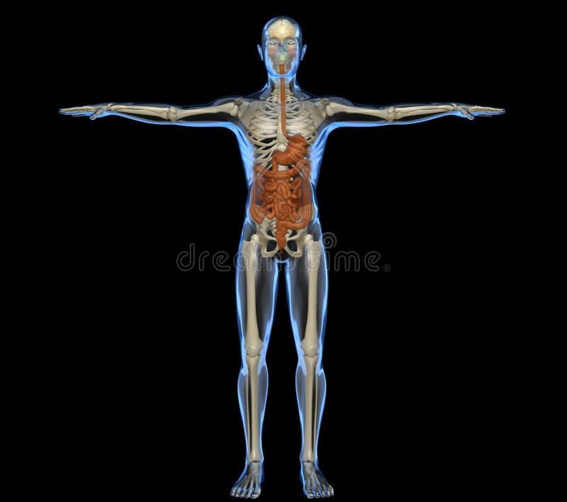 Corpo humano com intestino e esqueleto ilustração royalty free