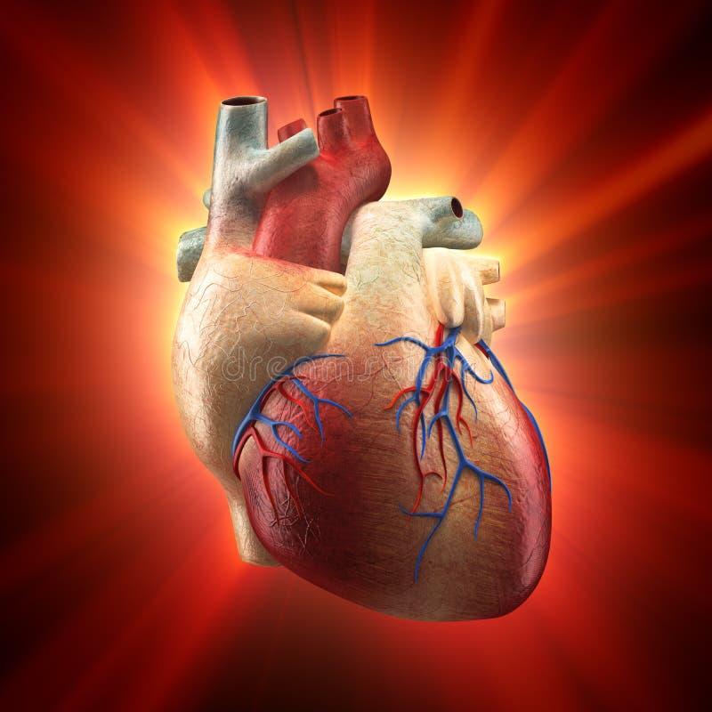 Coração real que Shinning na luz - modelo humano da anatomia ilustração do vetor