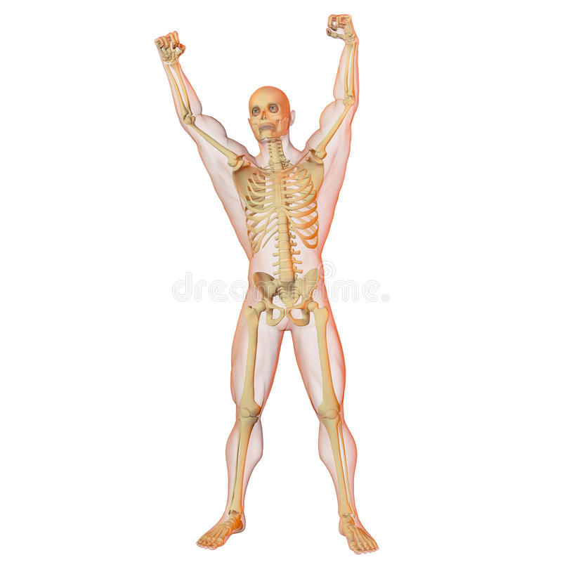 Corpo humano e esqueleto masculinos. ilustração do vetor