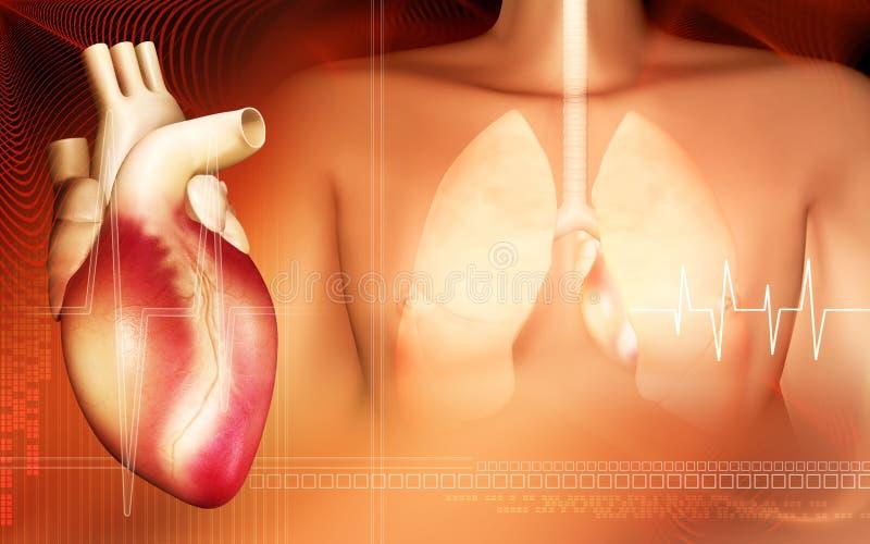 Corpo humano e pulmões com coração ilustração royalty free