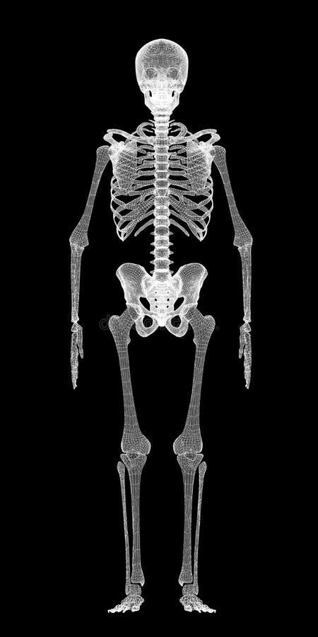 Corpo humano, esqueleto fotografia de stock royalty free