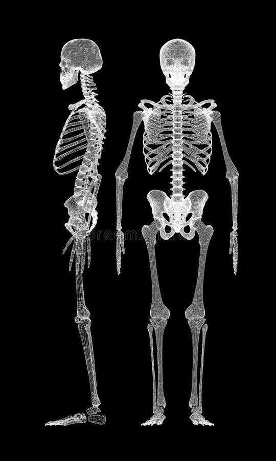 Corpo humano, esqueleto ilustração do vetor