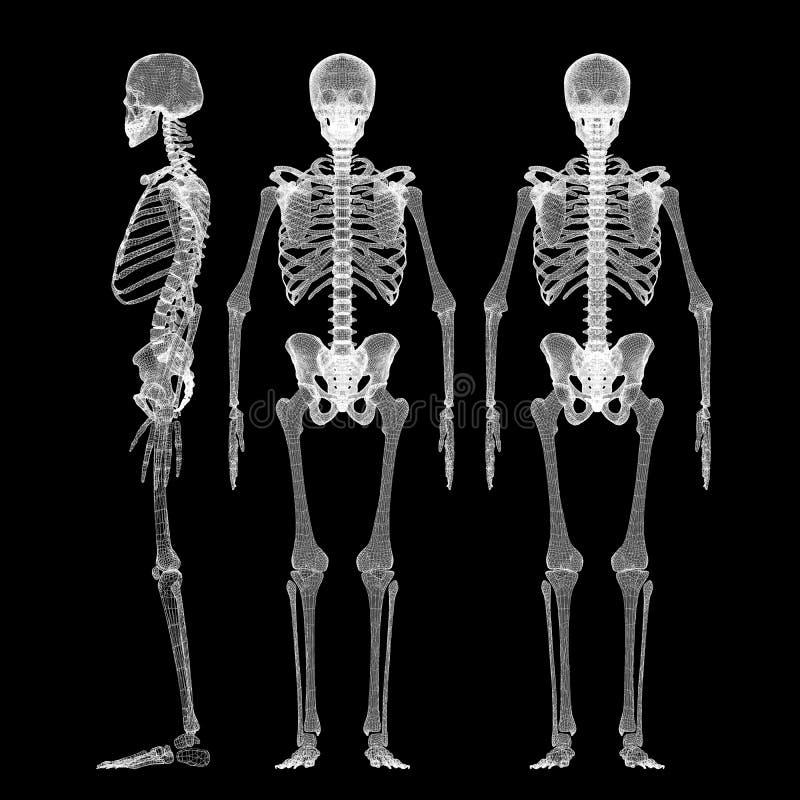Corpo humano, esqueleto ilustração royalty free