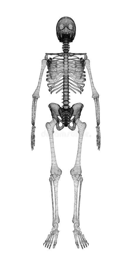Corpo humano, esqueleto ilustração stock