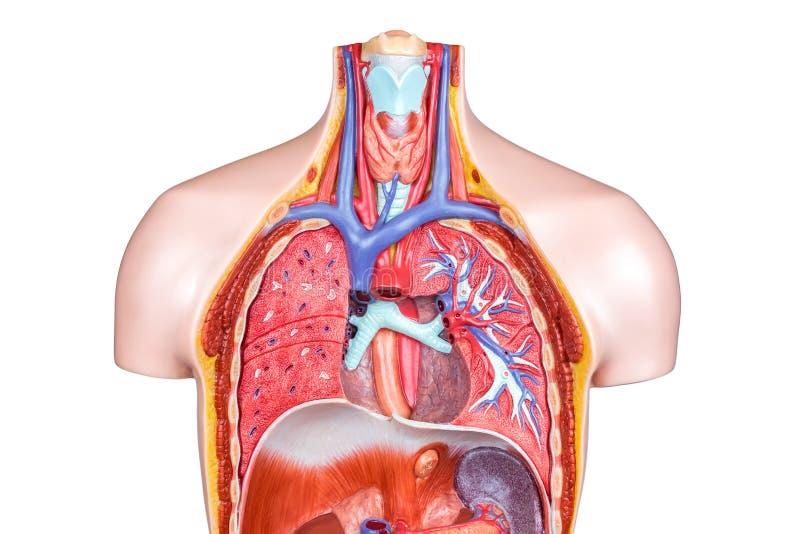 Foto corpo humano interno 7