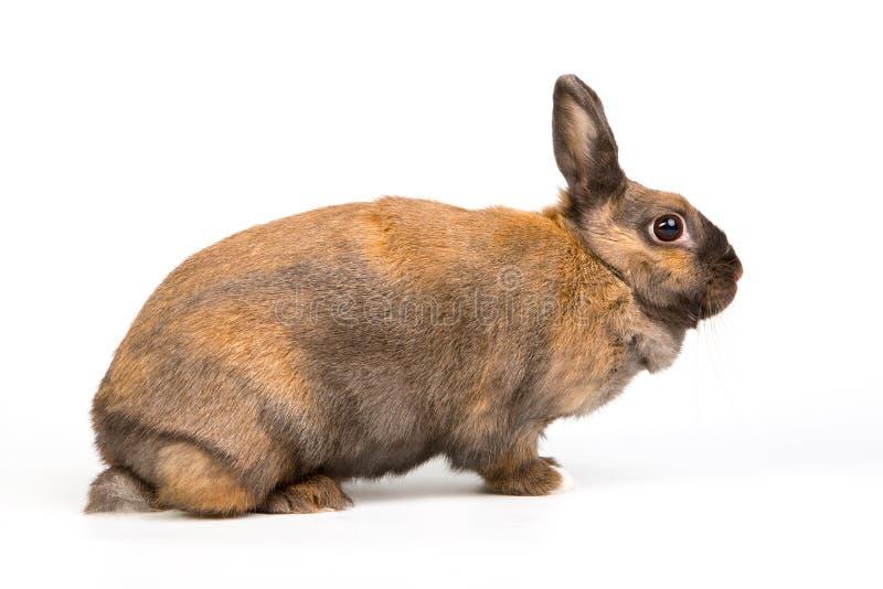 Corpo marrom adorável do tolo do retrato dos coelhos no estúdio no fundo branco de assento imagem de stock