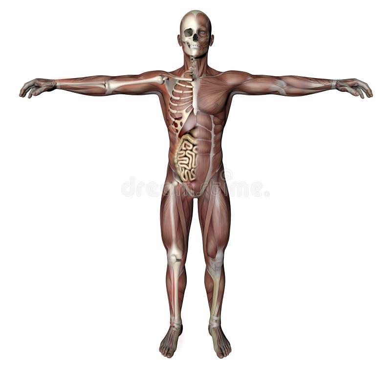 Corpo masculino com músculos esqueletais e órgãos ilustração royalty free