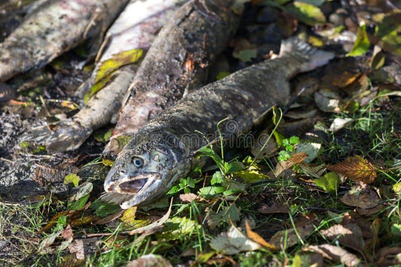 Corpo salmon inoperante dos peixes fotos de stock