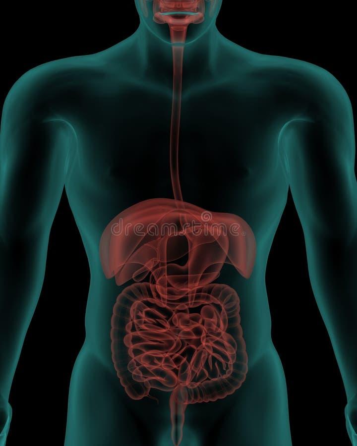 Corpo umano con gli organi interni dell'apparato digerente illustrazione vettoriale