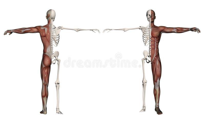 Corpo umano di un uomo con i muscoli e lo scheletro illustrazione vettoriale