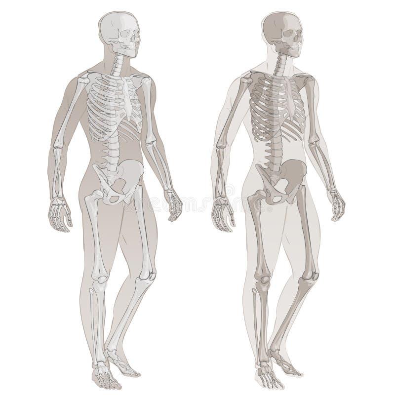 Corpo umano e scheletro royalty illustrazione gratis