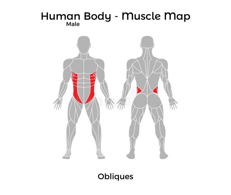 Corpo umano maschio - Muscle la mappa, Obliques illustrazione vettoriale