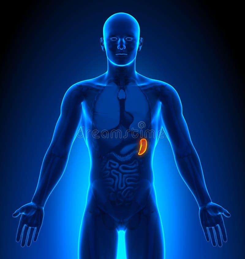 Rappresentazione medica - organi maschii - milza illustrazione di stock
