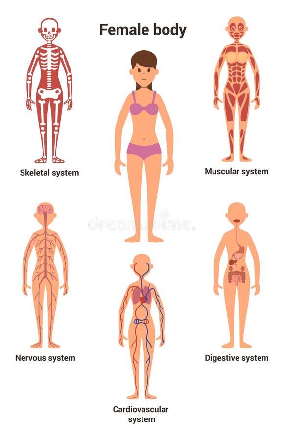 Corps féminin Anatomie humaine Système squelettique et musculaire, nerveux et appareil circulatoire, appareil digestif humain illustration de vecteur