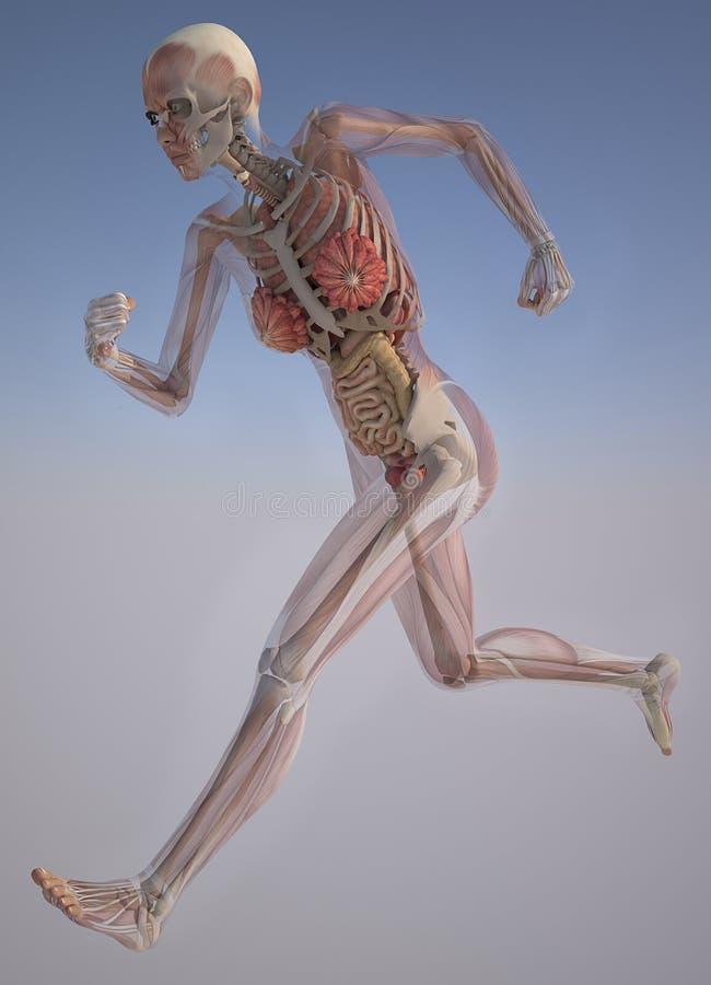 Corps féminin avec des muscles squelettiques et des organes illustration de vecteur