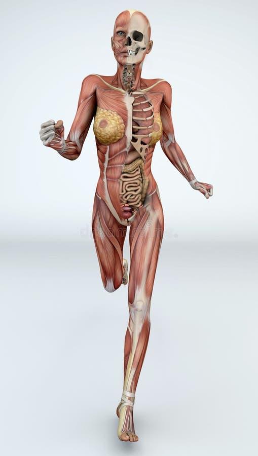 Corps féminin avec des muscles squelettiques et des organes illustration stock