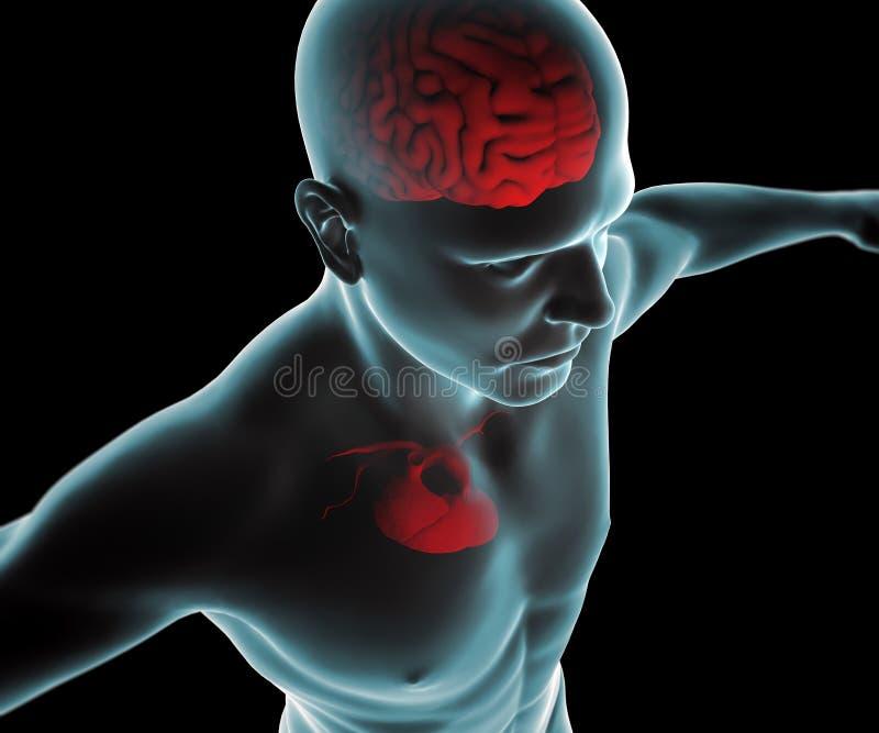 Corps humain avec le rayon X de coeur et de cerveau illustration stock