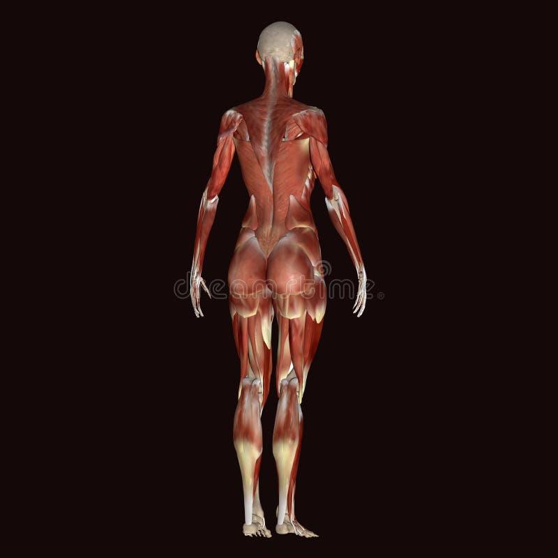 corps humain de femelle de l'illustration 3d illustration libre de droits