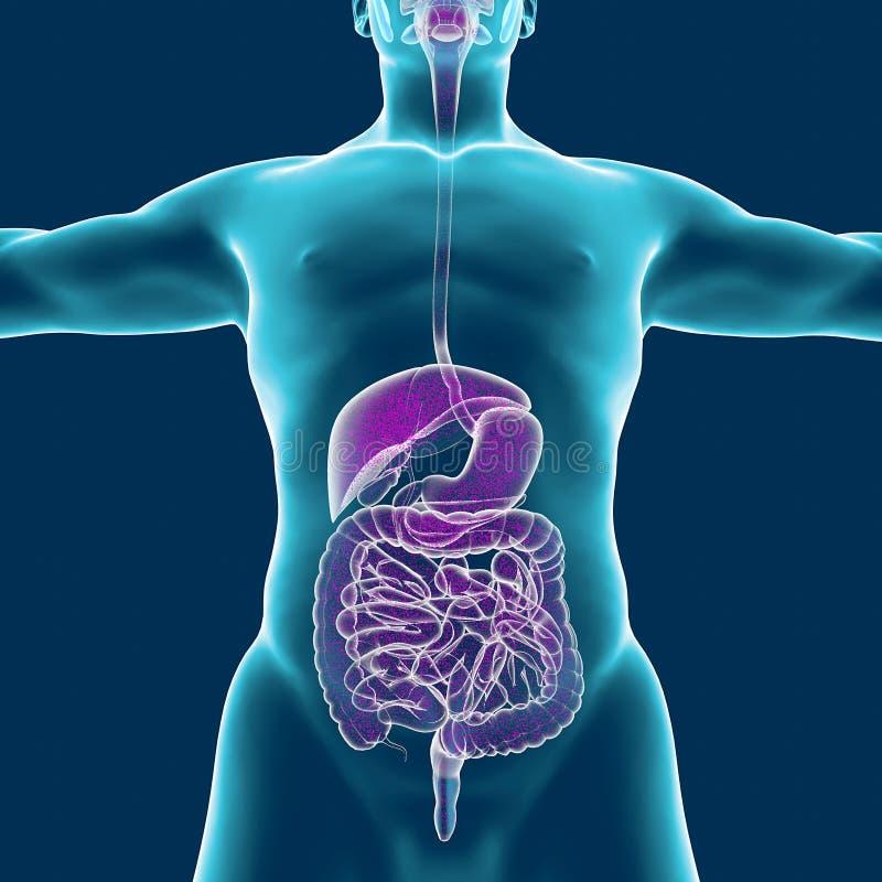 Corps humain et appareil digestif, anatomie rendu 3d illustration de vecteur