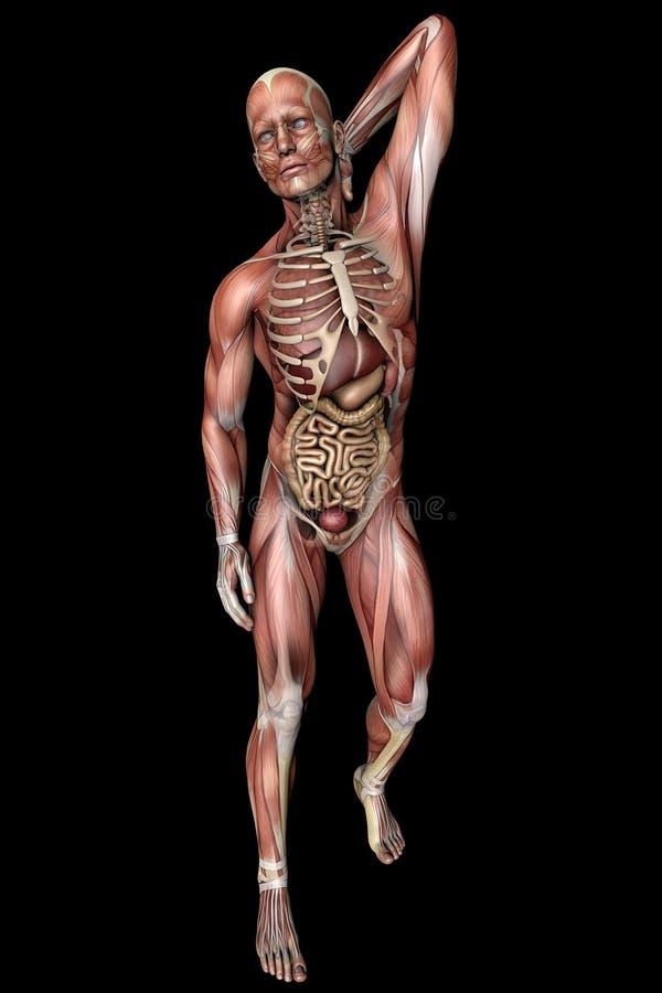 Corps masculin avec des muscles squelettiques et des organes illustration stock