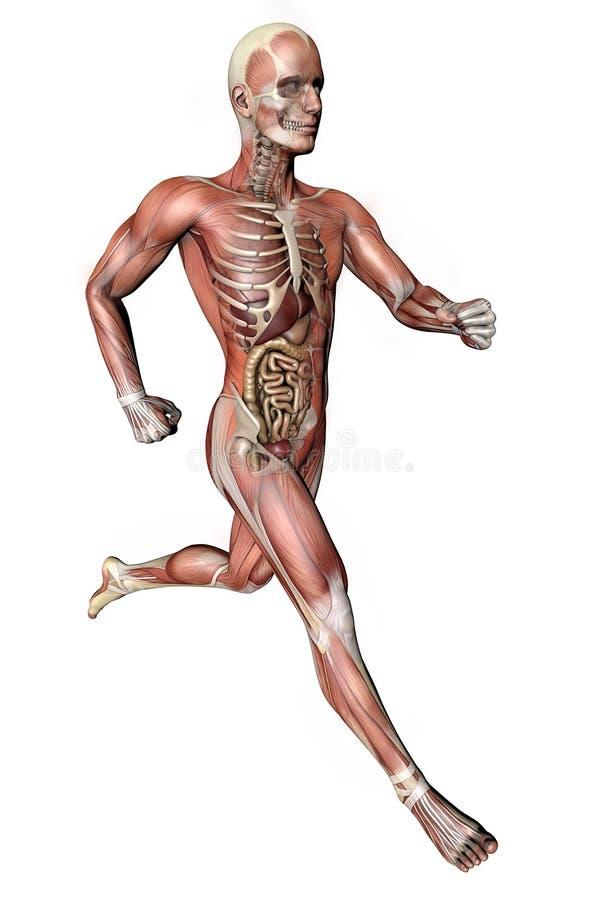 Corps masculin avec des muscles squelettiques et des organes illustration libre de droits
