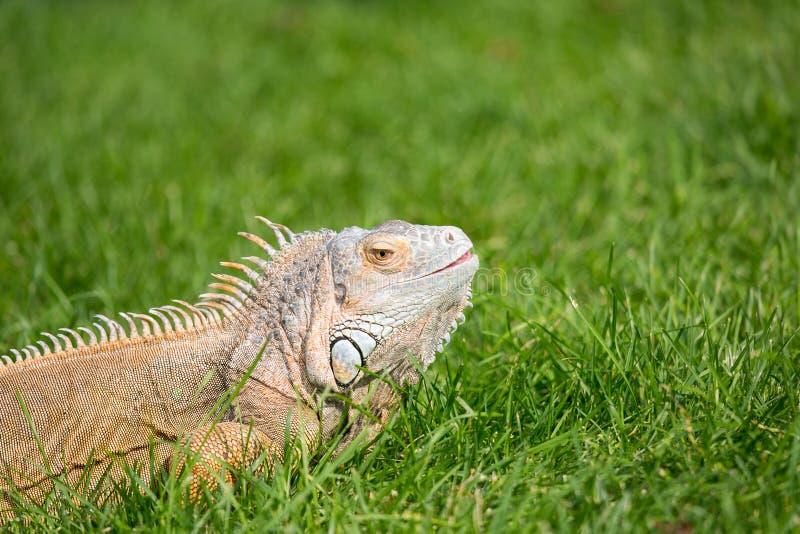 Corps supérieur d'animal familier d'iguane sur une pelouse verte photos libres de droits