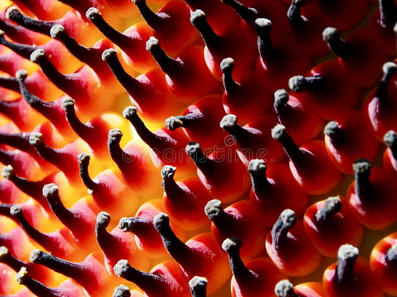 Corpse Flower Seed Pod royalty free stock images