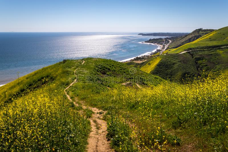 Corral Canyon Super Bloom. Vibrant yellow wildflowers covering Corral Canyon, Malibu, California in Spring 2019, four months after the Woolsey Fire of November stock photos