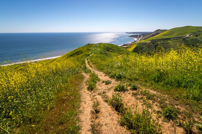 Corral Canyon Super Bloom. Vibrant yellow wildflowers covering Corral Canyon, Malibu, California in Spring 2019, four months after the Woolsey Fire of November stock image