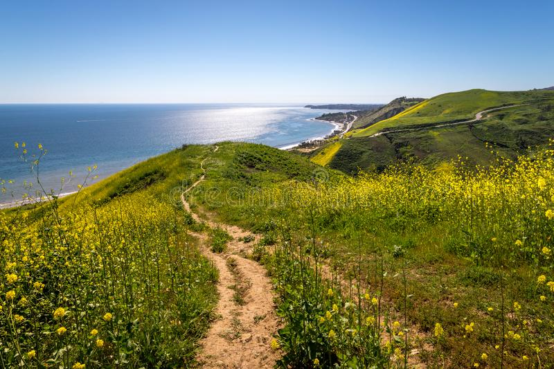 Corral Canyon Super Bloom. Vibrant yellow wildflowers covering Corral Canyon, Malibu, California in Spring 2019, four months after the Woolsey Fire of November royalty free stock image