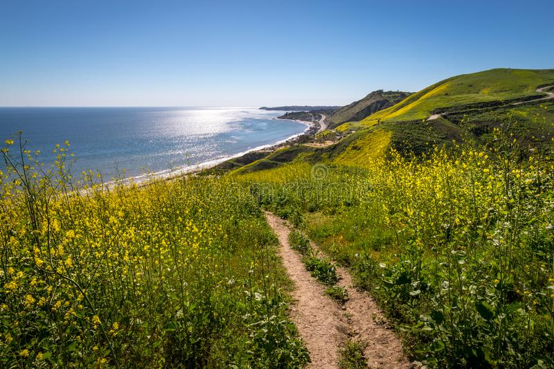 Corral Canyon Super Bloom. Vibrant yellow wildflowers covering Corral Canyon, Malibu, California in Spring 2019, four months after the Woolsey Fire of November royalty free stock photo