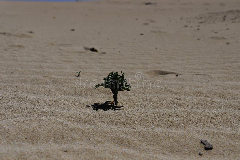 Corralejo国家公园佝偻病的植物群  库存图片