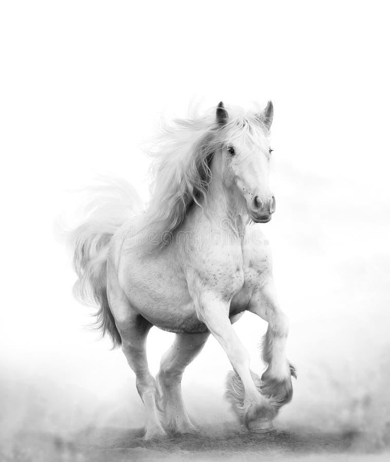 Corredor bonito do cavalo branco da neve foto de stock