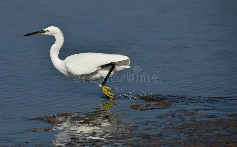 Corredor branco do egret imagem de stock