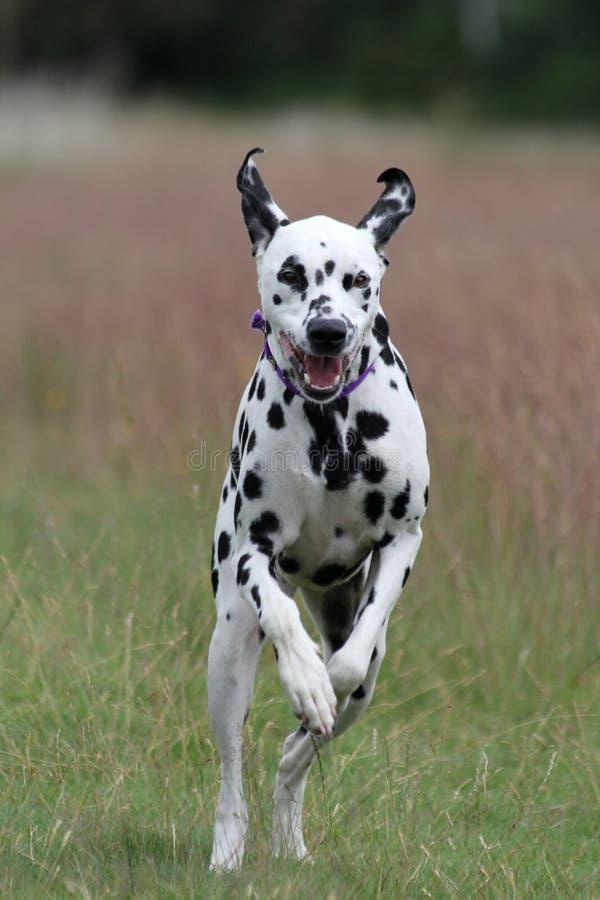Corredor Dalmatian do cão fotografia de stock royalty free