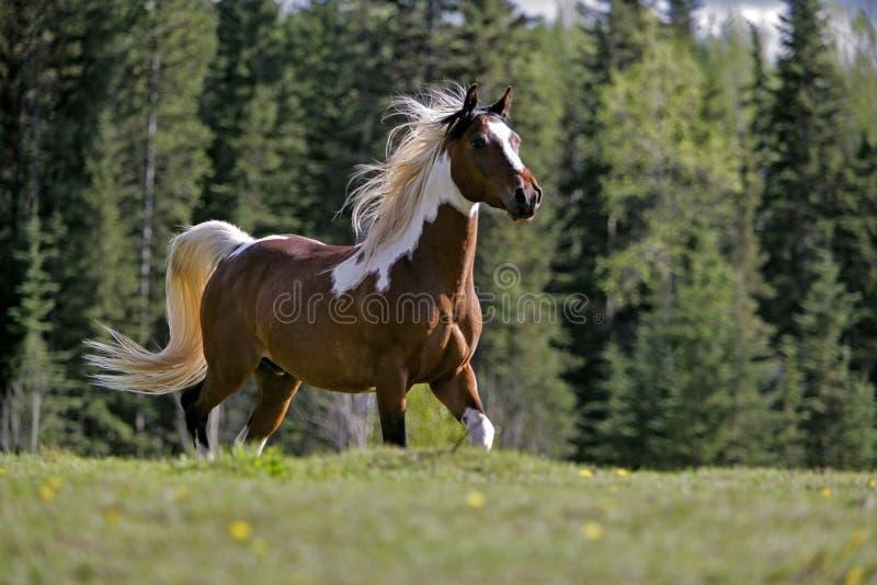 Corredor de Beautyful Pinto Arabian fotografia de stock royalty free