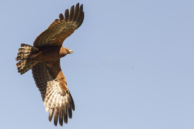 Corredor de cross-halc?n africano en vuelo fotos de archivo