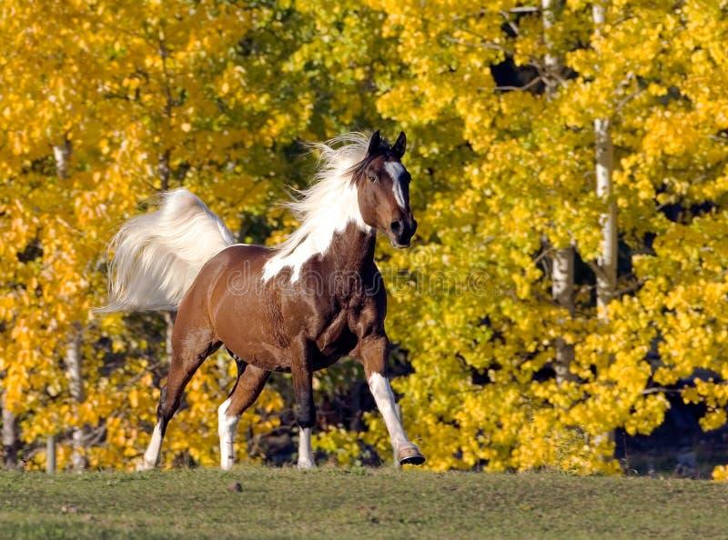 Corredor de Pinto Arabian imagens de stock royalty free