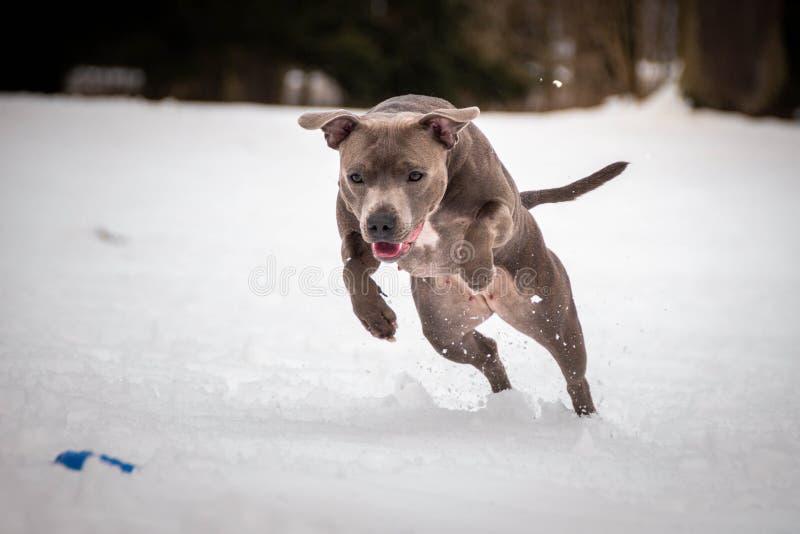 Corredor de Staffordshire bull terrier para o extrator do cão fotografia de stock royalty free