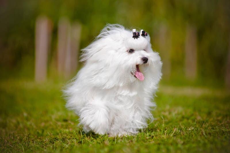 Corredor do cão maltês imagem de stock royalty free