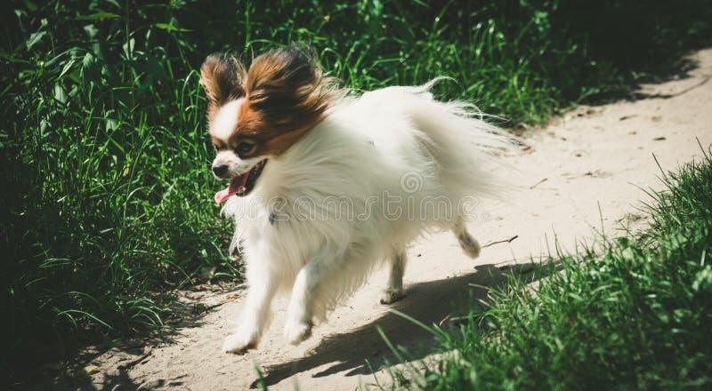 Corredor do cão na estrada do campo entre as árvores, no cão adulto do papillon da floresta que corre com sua língua para fora Co fotografia de stock