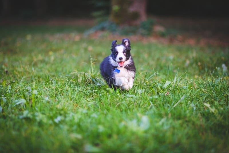 Corredor do cachorrinho de border collie foto de stock royalty free