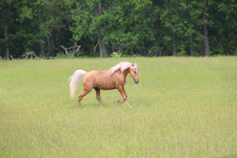 Corredor do cavalo do Palomino imagem de stock royalty free