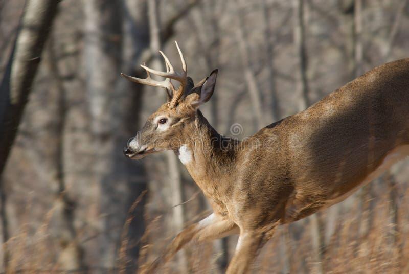 Corredor dos cervos imagem de stock royalty free