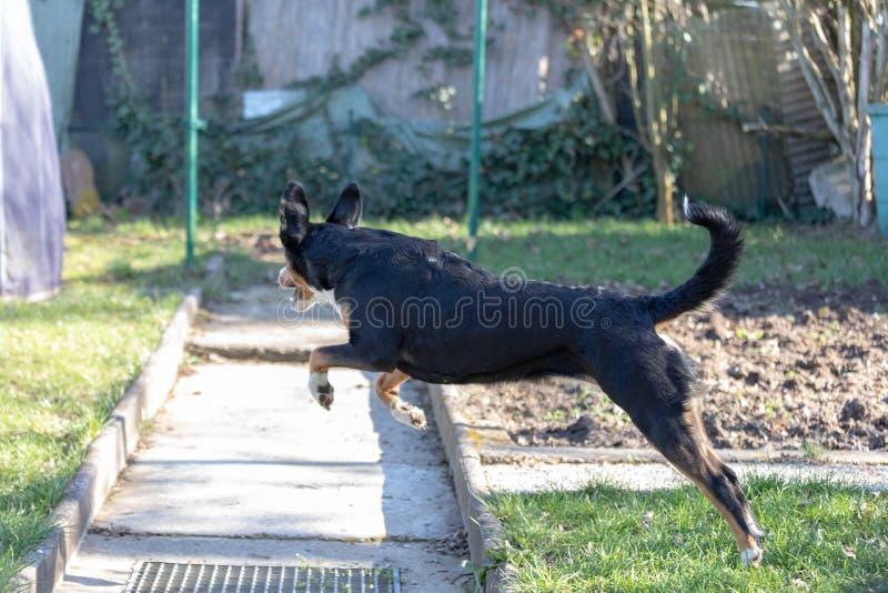 Corredor farpado brincalhão de Appenzeller Mountaindog na grama verde fotografia de stock