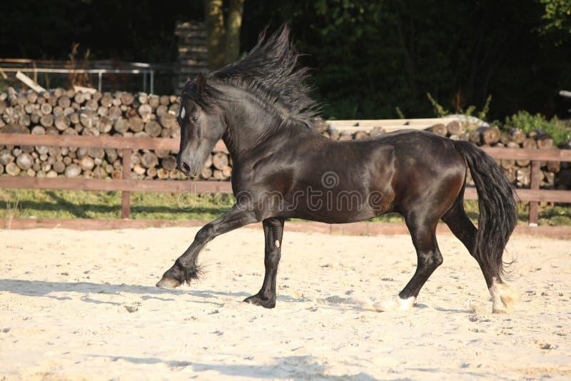 Corredor marrom lindo da espiga de galês foto de stock royalty free