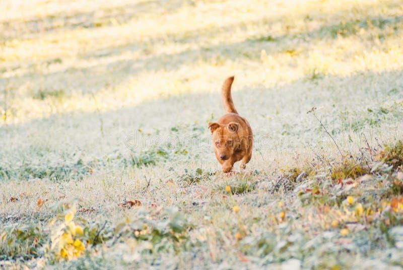 Corredor marrom pequeno bonito do cão fotografia de stock