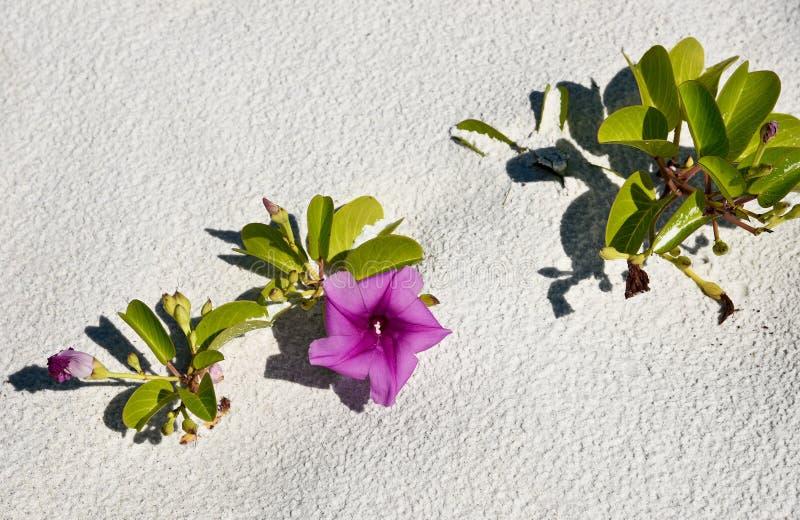 Correhuela de la playa imagen de archivo