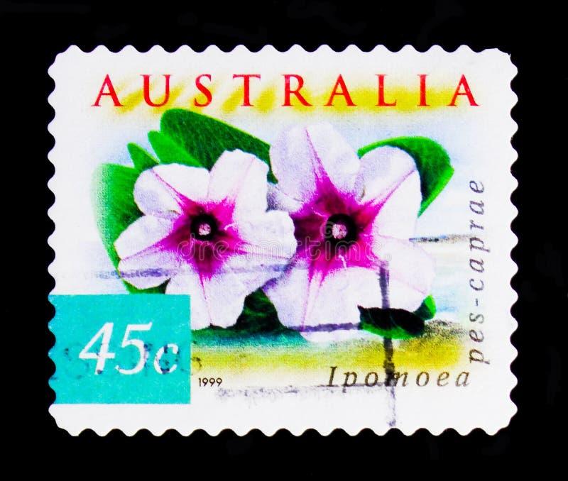 Correhuela de la playa - pes-caprae del Ipomoea, naturaleza de Australia - Flowersserie costero, circa 1999 imagen de archivo libre de regalías